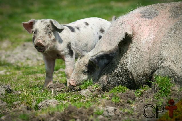 Fezes de suínos: problema ou solução?   Artigos Cursos CPT