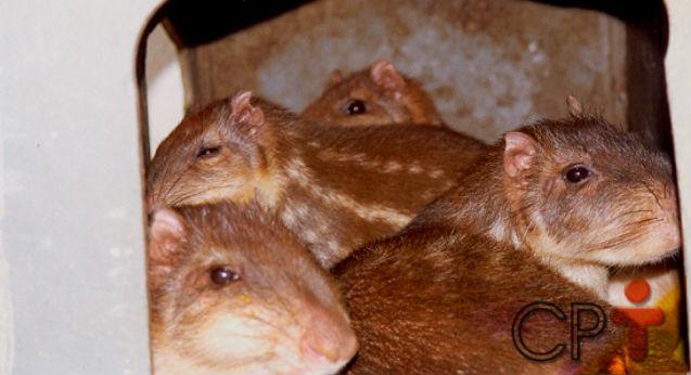 Pacas em cativeiro: o que fazer após a cria?   Artigos Cursos CPT