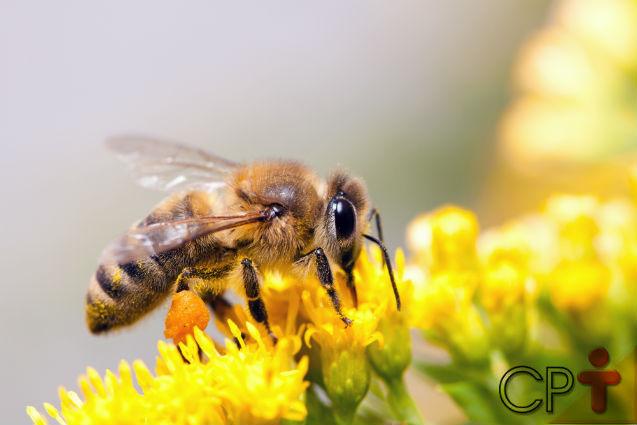 As abelhas africanas são assassinas. Mito ou realidade?    Artigos Cursos CPT