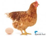 Aprenda a controlar o Choco das galinhas poedeiras