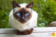 Tudo o que você precisa saber sobre gatos siameses!