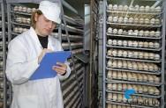 A incubação de ovos de galinha