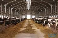 Novas técnicas para garantir o bem-estar do gado