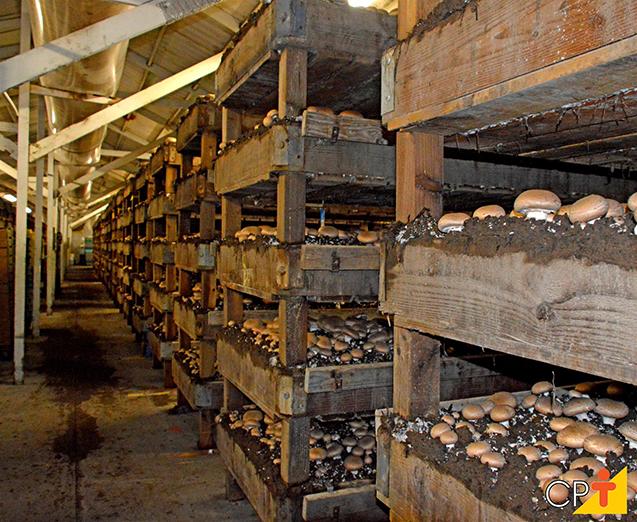 Cultivo de cogumelos
