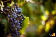 O que é vinicultura e viticultura?