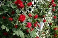 Treliças: excelente material para a composição de jardins verticais