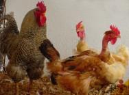 Label Rouge: conheça o frango caipira de pescoço pelado