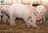 Alimentação de suínos na fase pré-inicial
