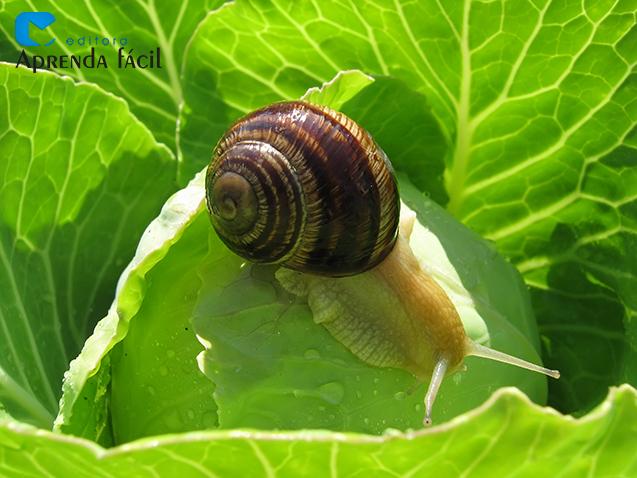 Praga em plantas: o caramujo