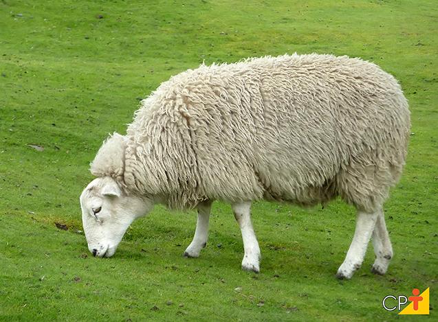 Ovelha comendo capim