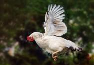 Sacos aéreos em galinhas? O que são? Para que eles servem?