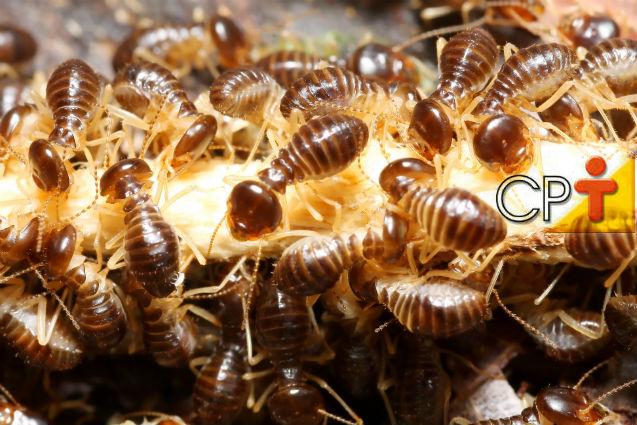 Cupins de madeira seca: controle efetivo da infestação   Dicas Cursos CPT