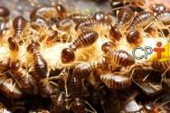 Cupins de madeira seca: controle efetivo da infestação