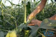 Principais pragas que atacam o milho