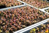 Realizando plantio em bandejas