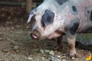 As principais doenças que atingem os suínos