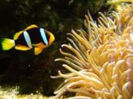 O peixe-palhaço é o mais criado no Brasil e o quarto mais comercializado no mundo.