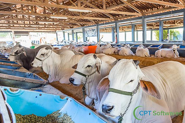 Ração para bovinos de corte