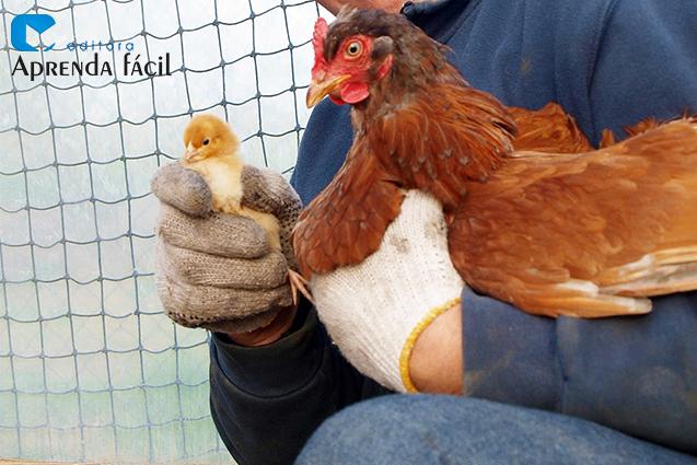 Pintinho e galinha caipira