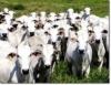Manejo da fase de cria, base para a sustentabilidade da pecuária de corte