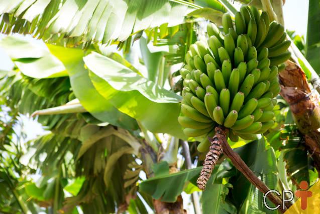 Dicas fáceis para plantar bananas
