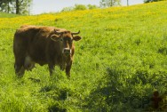 Produção orgânica de leite: manejo da pastagem
