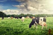Importância da pastagem no sistema orgânico de leite