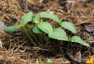 Plantio direto ajuda na redução de ervas daninhas