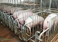 5 dicas para começar uma criação de suínos