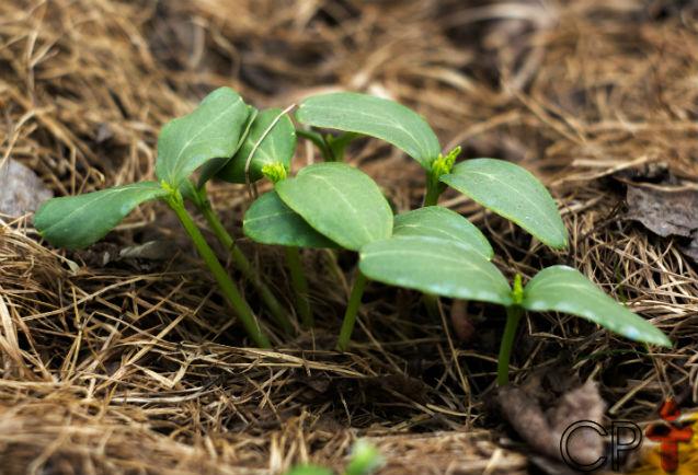 Adubação verde: o que é e para que serve   Artigos Cursos CPT