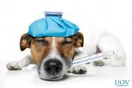 Ajudando na recuperação pós-operatória do seu cão