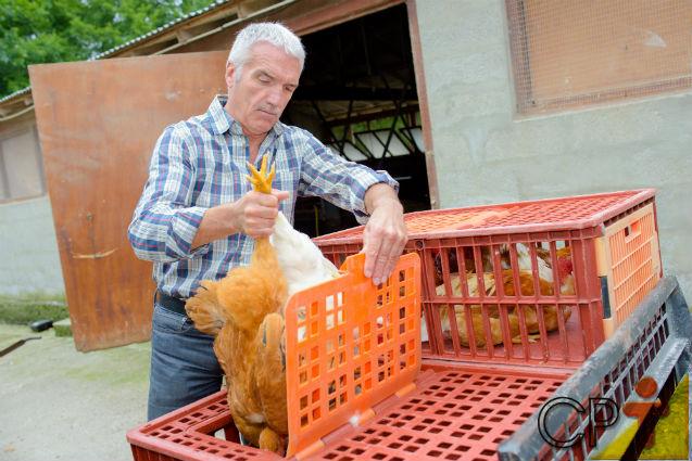 Como evitar lesões nas coxas dos frangos durante o abate?   Dicas Cursos CPT