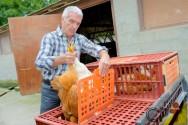 Como evitar lesões nas coxas dos frangos durante o abate?
