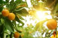 Calda sulfocálcica viabiliza a produção de citros orgânicos