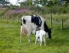 Aprenda as técnicas desenvolvidas pela Embrapa para aumentar sua produção de leite