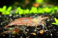 Como é o acasalamento dos camarões de água doce?