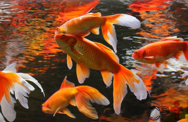 Peixes ornamentais: principais enfermidades   Artigos Cursos CPT