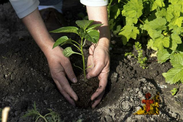 Pimenta-do-reino: como preparar mudas corretamente   Artigos Cursos CPT