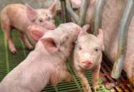 Biodigestores: coleta de dejetos em instalações de suínos