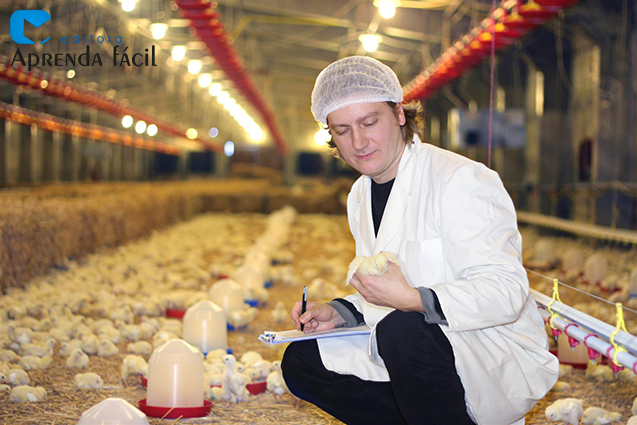 Manejo inicial de frangos