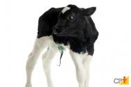 Embrapa Cerrados cria clone de vaca gir leiteiro