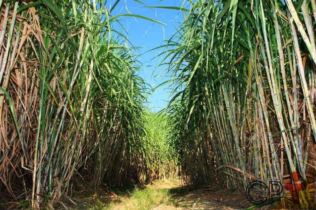 Influência dos ventos sobre a cana-de-açúcar   Artigos Cursos CPT