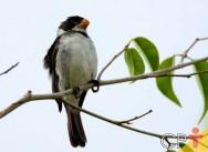 Descubra como legalizar pássaro coleiro