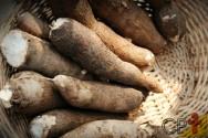 Como esterilizar o solo para plantar mandioca?