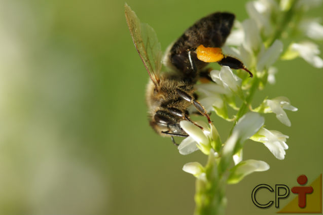 De onde vem a própolis e como ela é utilizada pelas abelhas?   Artigos Cursos CPT