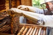 Abelhas rainhas controlam a capacidade produtiva da colmeia