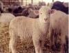 Cordeiros em confinamento trazem viabilidade para pequena e média propriedade rural