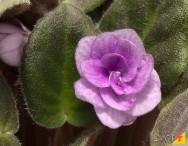 Pragas e doenças da violeta – e como combatê-las!
