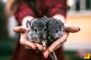 Principais características e defeitos dos coelhos Chinchilas