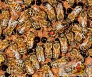 Crias em crescimento: qual a sua importância nos apiários?